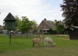 twee alpaca's