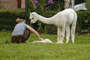Vrouw zit bij zojuist geboren alpacajong. Moeder alpaca kijkt toe.