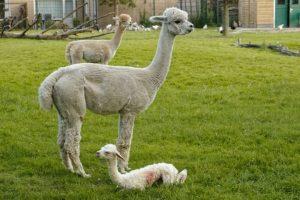 Twee volwassen alpaca's en een net geboren jong