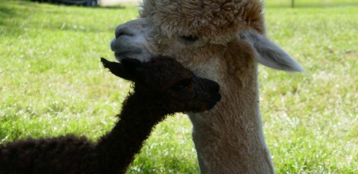 Alpacahengst bij moeder